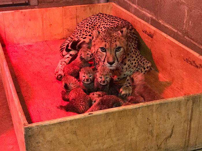 Эта супер-мамочка только что родила рекордное количество маленьких гепардов – очень милые фотографии!