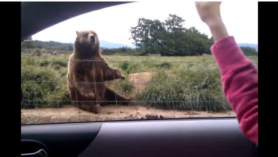 Женщина помахала медведю. Ре…