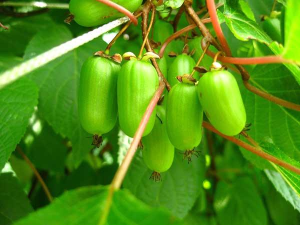 Лекарственное растение актинидия коломикта