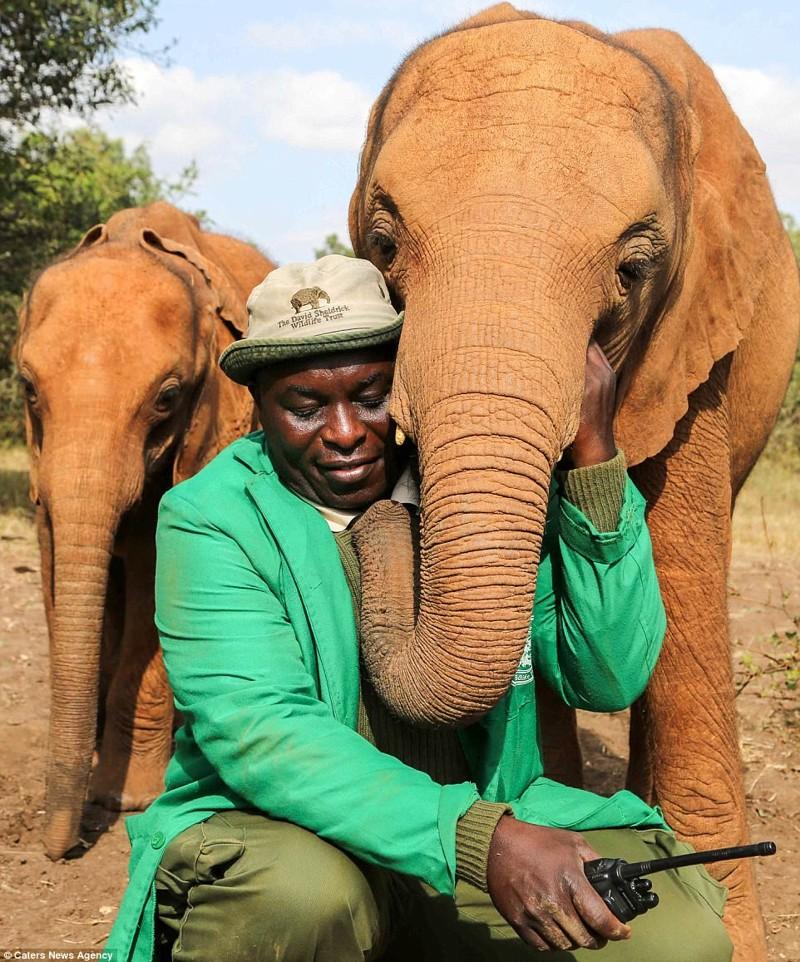 Слониха привязалась к смотрителю Эдвину, спасшему ее от верной смерти детеныш, животные, история, кения, люди, мир, слониха, спасение
