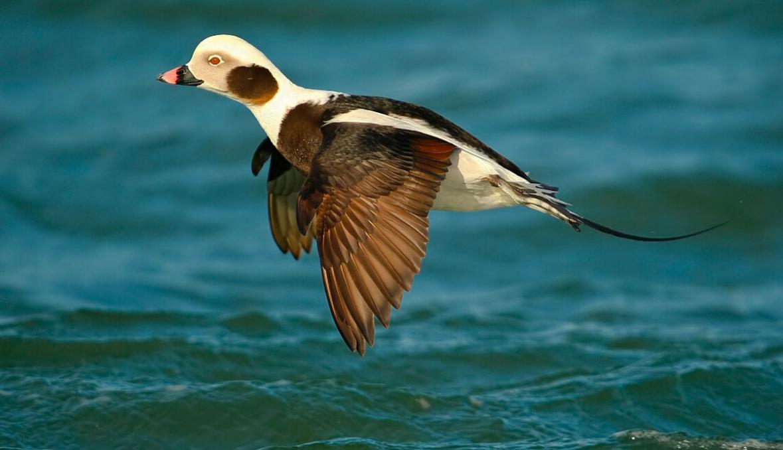 Почему утки-морячки стали падать с неба…