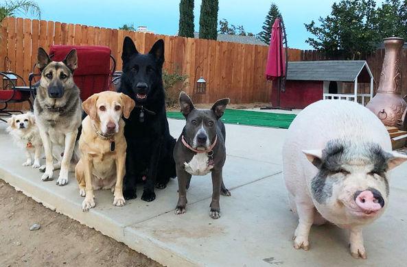 Свинья, которая выросла с собаками, стала любимицей соцсетей