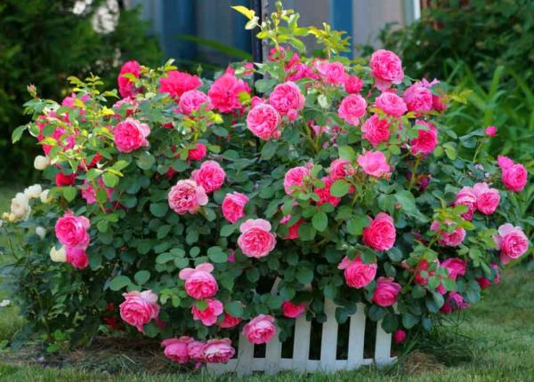 Неприхотливые розы: что выбрать?