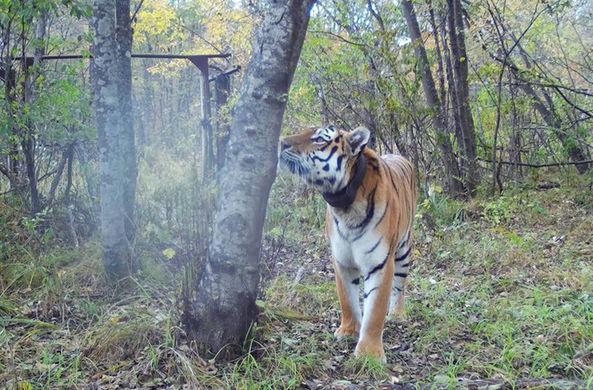 Выпущенный Путиным тигр Боря нашел себе пару