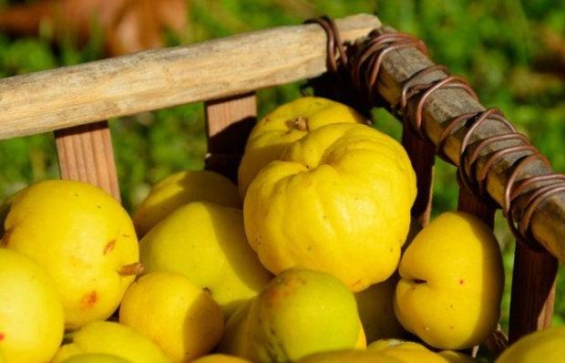 Айва: сбор и хранение урожая