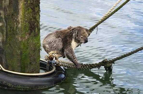 В Австралии пришлось спасать заплывшую в море коалу