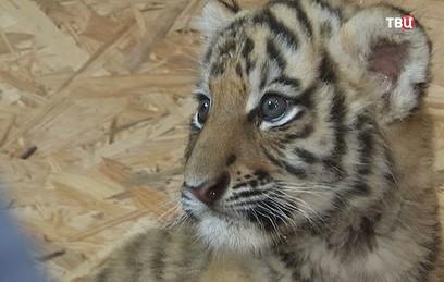 В Приморском зоопарке тигрён…
