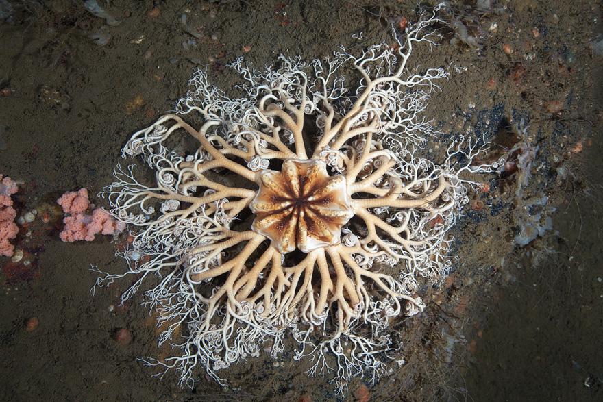 4106 Подводные чудеса Белого моря на фото Александра Семенова