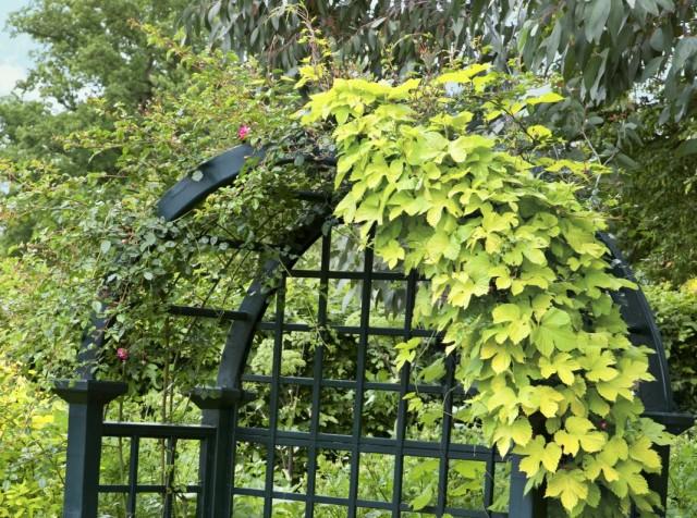 Девичий виноград и плетистая роза на арке