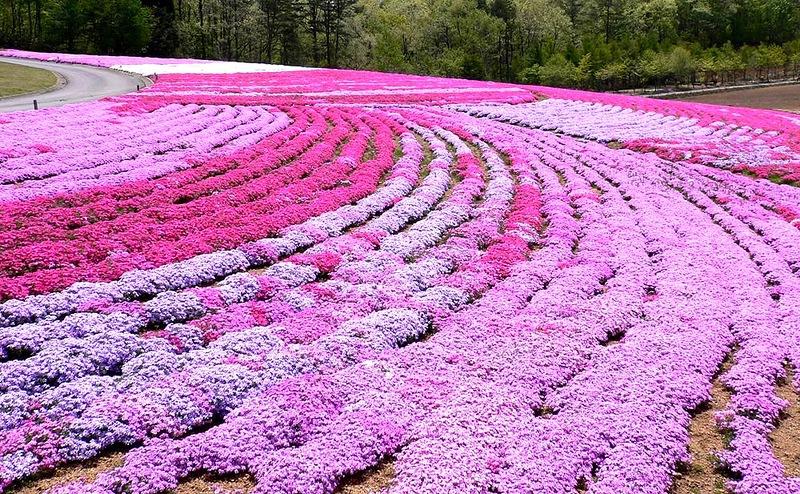 """Цветочные ковры Shibazakura - """"травяная сакура"""". Япония"""
