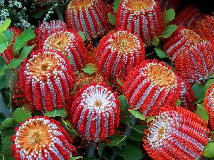 Банксия ярко-красная (Banksia coccinea) красота, особенные, природа, растения, флора, цветы