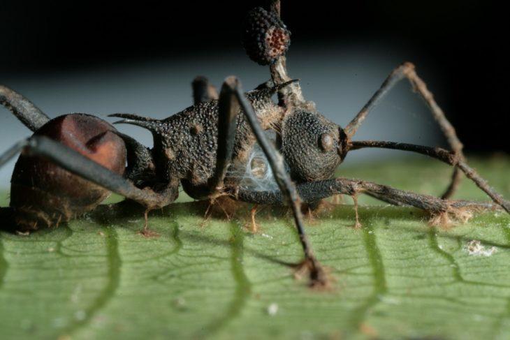 Ученые исследовали гриб превращающий насекомых в зомби