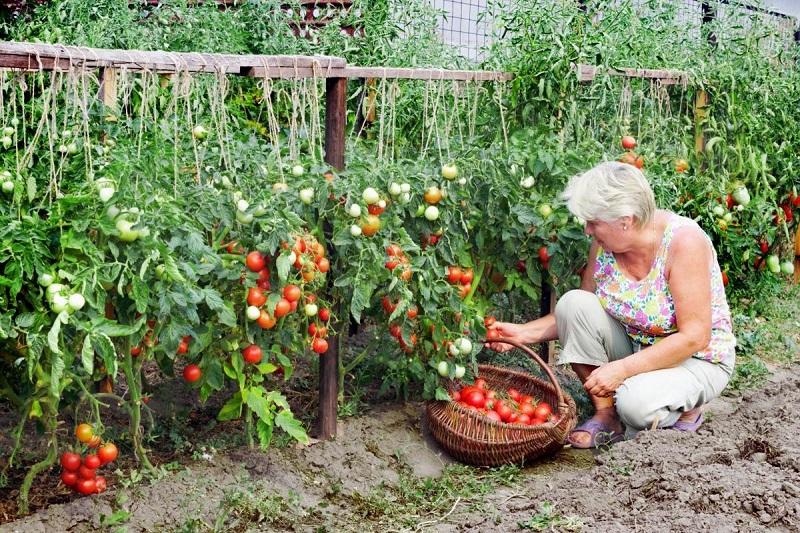 Сосед по даче поделился рецептом щедрого урожая: добавляю половину чайной ложки на ведро воды
