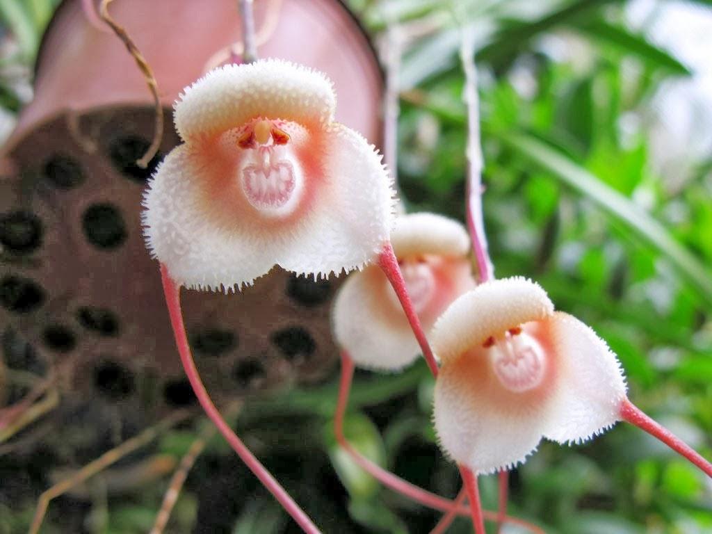 Род орхидей Дракула