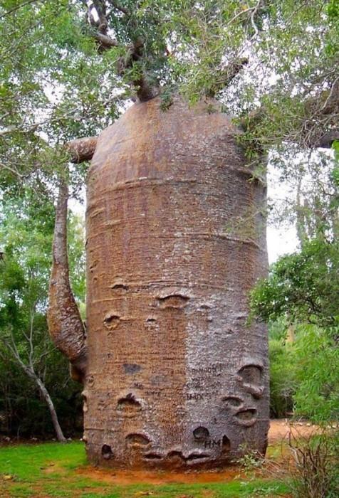 Удивительное дерево не только самое толстое в мире, но и не имеет годичных колец.