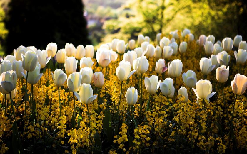 белые тюльпаны, цветение