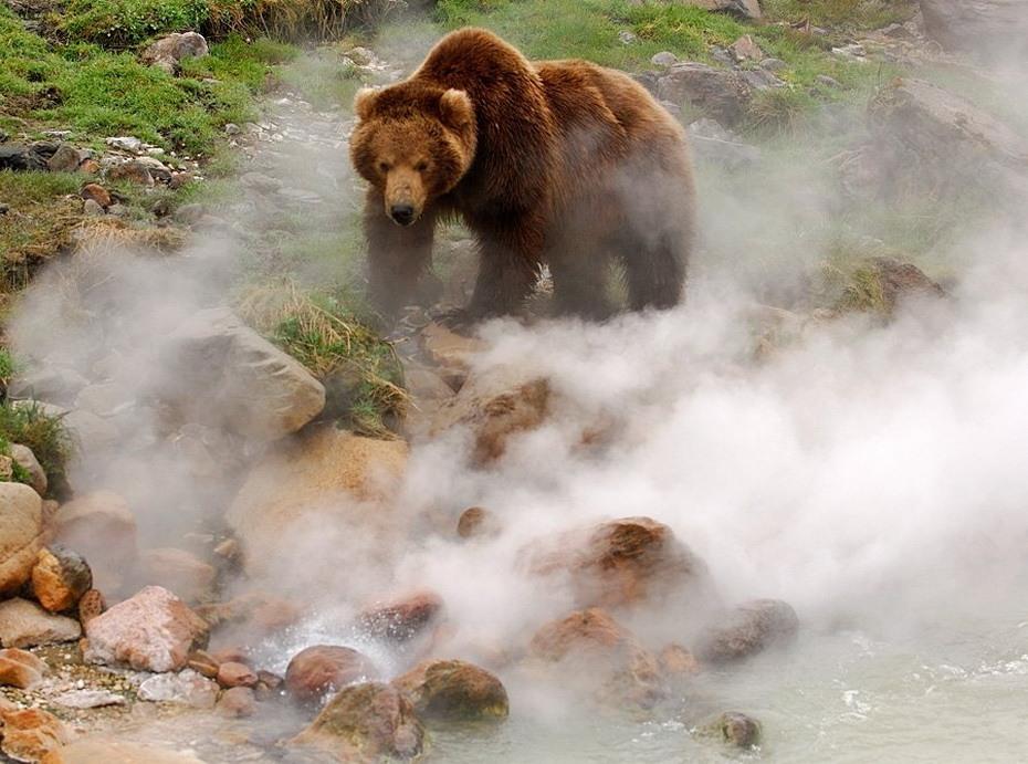 Обжигают ли медведи лапы в гейзерах? Фотографии Игоря Шпиленка