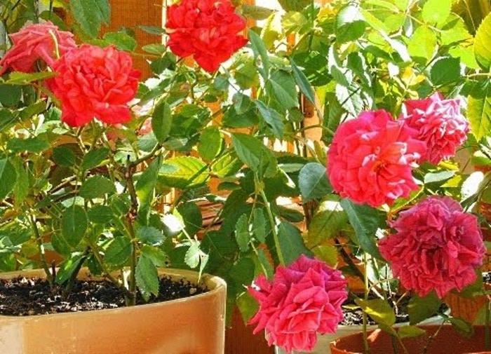 Блог полезных советов :: Пересадка комнатной розы