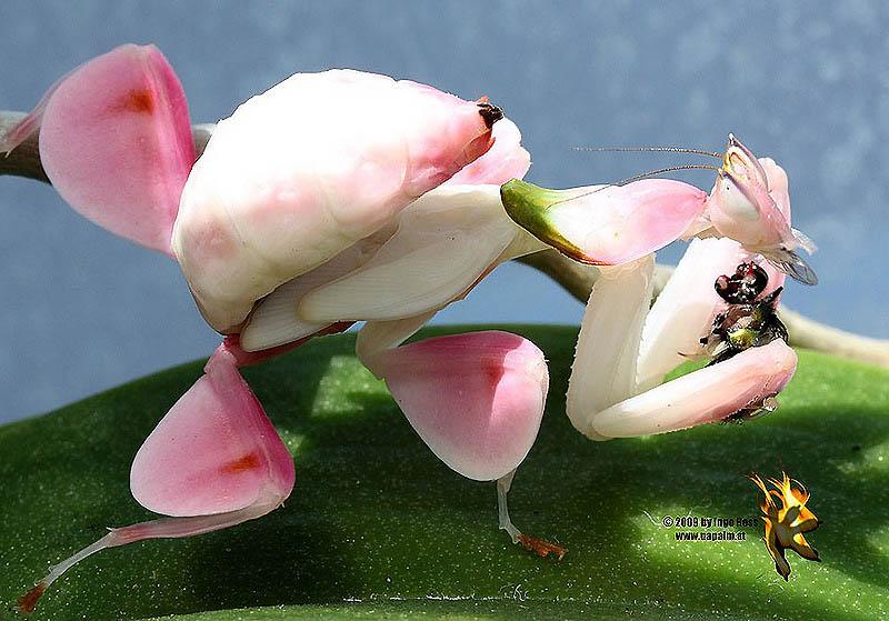 4120 Орхидейные богомолы