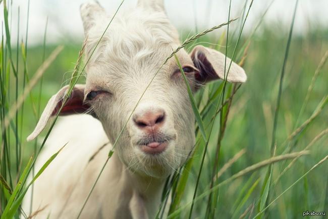Любовь зла! Полюбил козу...