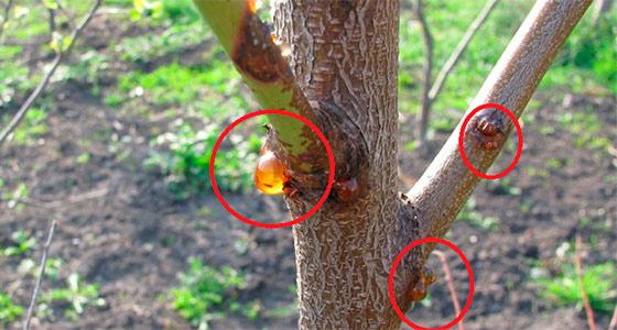 Как вылечить рану на плодовом дереве