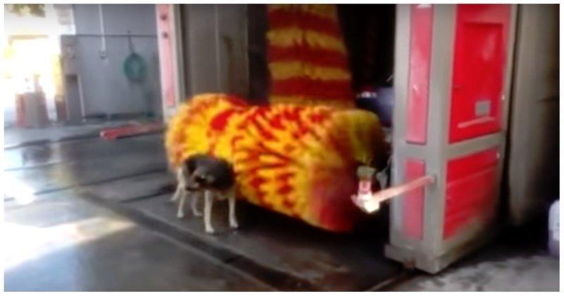 Смелая собака помылась на автомойке)
