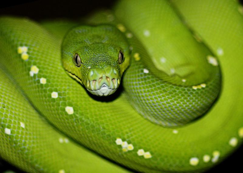 В Австралии обитает 140 видов наземных змей и 32 вида морских австралия, змея