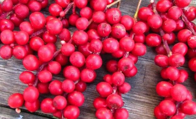 Известно ли вам о пользе ягод лимонника?