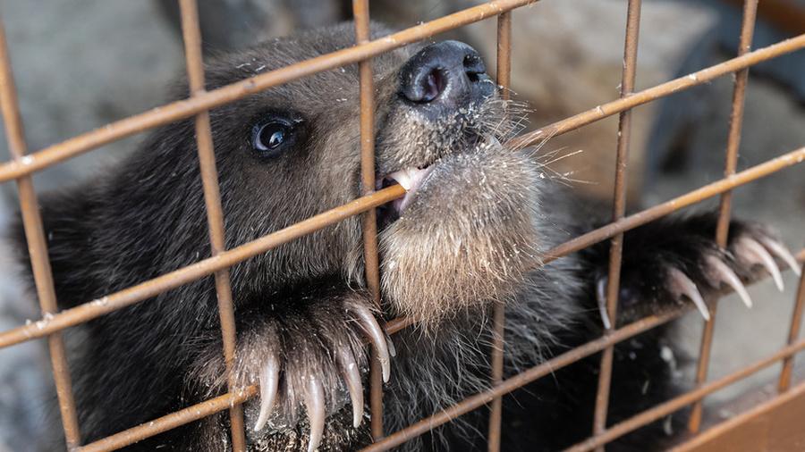 Животные-рецидивисты