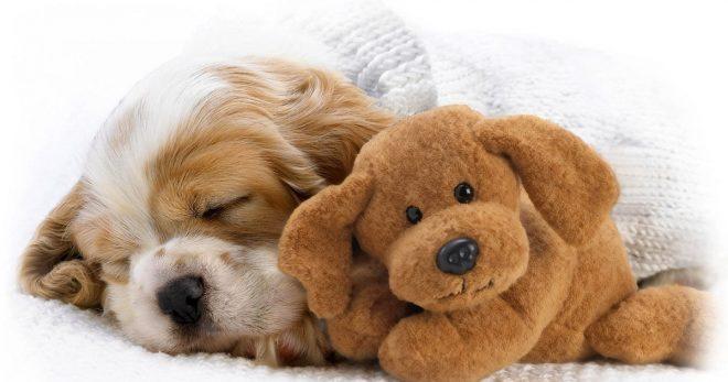 Очень мило и трогательно: 10 фотографий собачек, которые спят, обняв любимую игрушку!