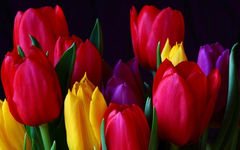 много цветов, тюльпаны разноцветные