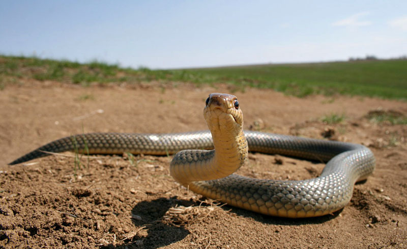 Как сфотографировать самую большую змею Европы — желтобрюхого полоза