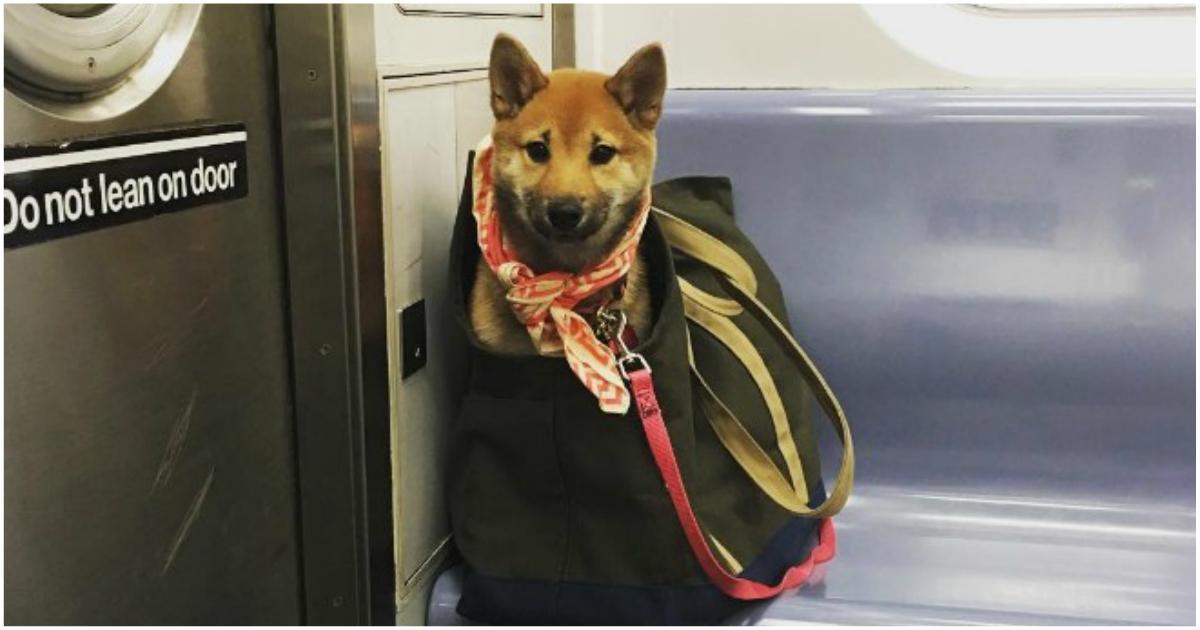 «Хозяин, полная конспирация!» Нельзя в метро с собаками? А они тихонечко… :)