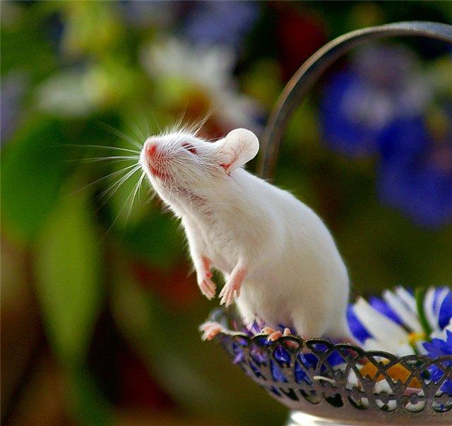Белая крыса стала звездой бродвейского спектакля