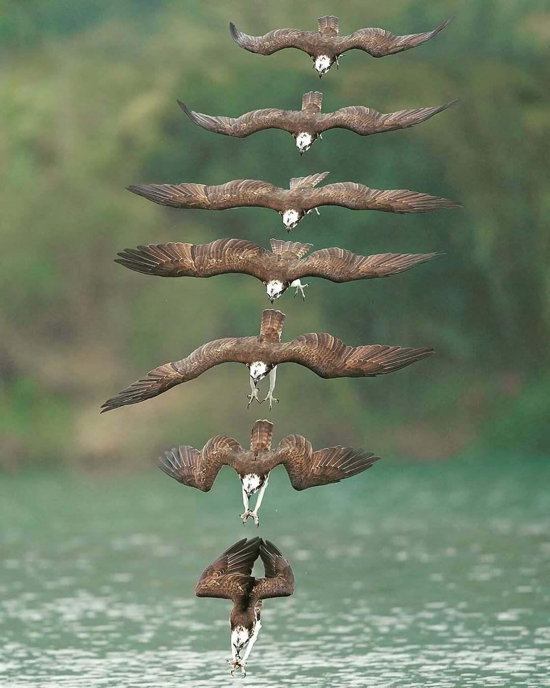 скопа птица