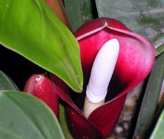 Красивый и неприхотливый филодендрон