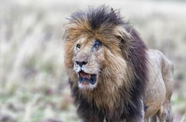 Вечно удивленного льва Шрама встретили в Кении