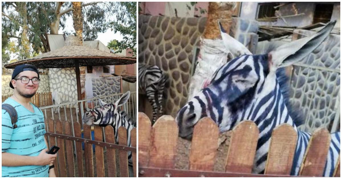 «Ух ты, зебра полиняла!» Курортный зоопарк раскрасил ослов, чтобы люди приняли их за экзотику…
