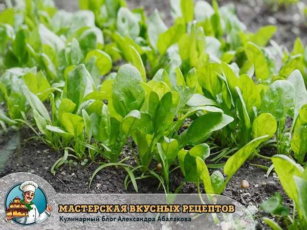 Здоровье дарит нам шпинат — полезный вкусный просто клад
