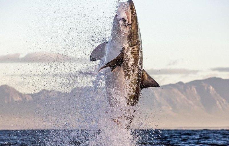 Акула в полете: невероятные снимки, сделанные фотографом-анималистом Большая белая акула, животные, охота в океане, тюлени, уникальные кадры, фотограф, фотографии, хищники