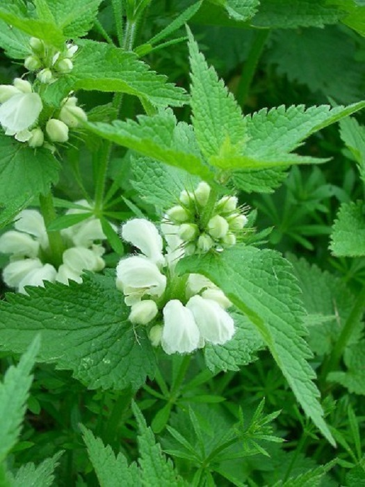 Беленькие симпатичные цветочки - еще один удивительный «деликатес» из советского детства, выдернув такой цветок из «гнездышка» можно было полакомиться сладким соком, который находился у основания.