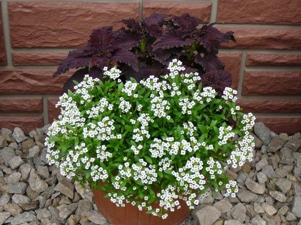 Алиссум - душистый цветок для сада