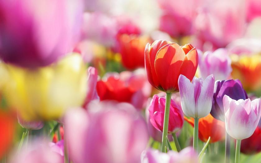 бутоны, Тюльпаны, весна, цветы