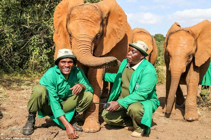 Несмотря на пережитый ужас, слониха очень ласкова к работникам заповедника детеныш, животные, история, кения, люди, мир, слониха, спасение