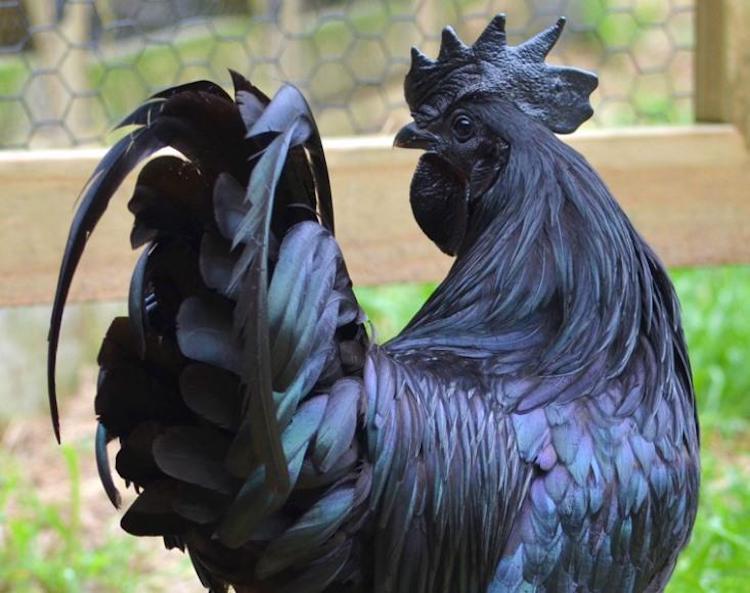 У петушка-гота черны не только перья, но даже кости