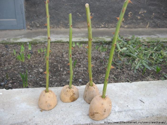 Как вырастить розы в картофеле