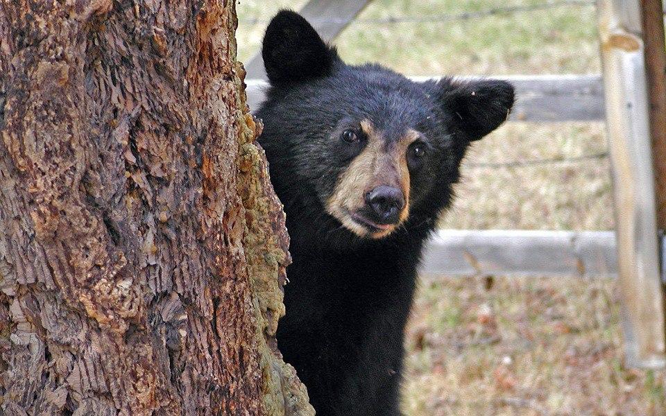 Российские учёные: медведи едят деревья для самолечения