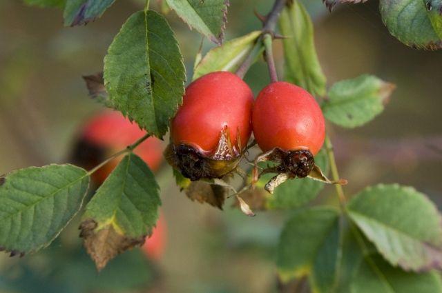 Цветы и сушеные ягоды. Чем полезен шиповник и что из него приготовить