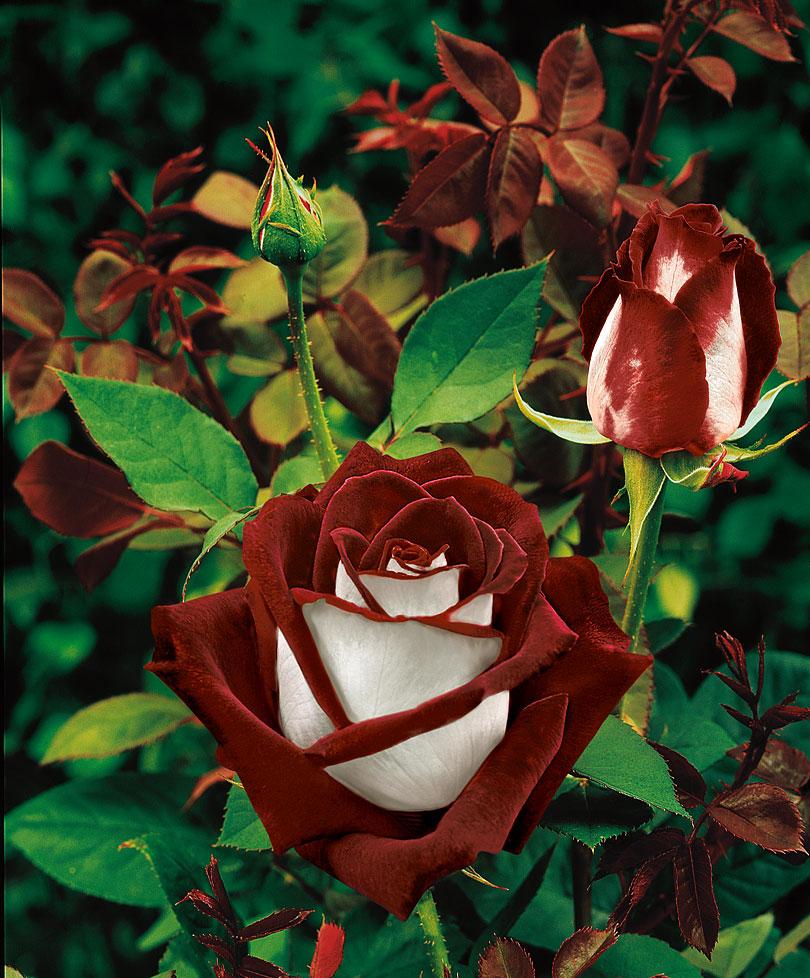 miscelanious01 Роза сорта Osiria