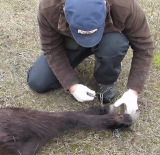 Ветеринар освободил скованную цепями лошадь, ответ не заставил себя ждать!